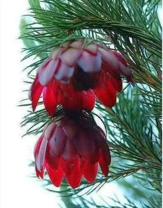 Pine flower. It blooms once every 100 years