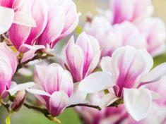 Magnolie vermehren – 4 einfache Möglichkeiten vorgestellt