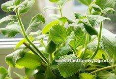 kubanskie_oregano-ziola-2 Parsley, Herbs, Plants, Herb, Flora, Plant, Planting