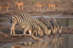 Zebra South Africa, Wildlife, Animals, Animales, Animaux, Animal, Animais