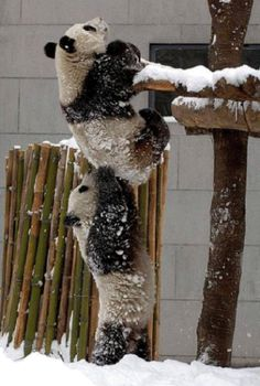 haha, two pandas helping each other in climbing - just like kids!