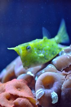 Moo the Cow Fish- first saw this little guy in the Monoco / Cannes Aquarium in Underwater Creatures, Underwater Life, Ocean Creatures, Weird Creatures, Salt Water Fish, Salt And Water, Cow Fish, Beautiful Sea Creatures, Life Under The Sea