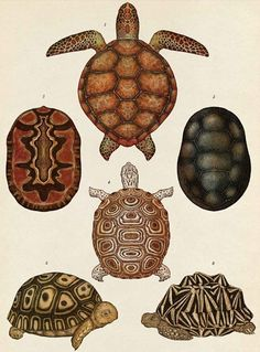 Turtles, Tortoises and Terrapins || Turtles, Tortoises and Terrapins Text © Jenny Broom 2014 Images © Katie Scott 2014 Publisher: Big Picture Press