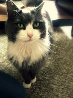"""Lost Cat- """"Little Girl"""" from Windham, ME"""