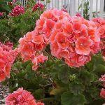 Cum să ai mușcate cu flori bogate. Trucuri care îți vor colora grădina sau balconul Love Flowers, Silk Flowers, Beautiful Flowers, Black Spot On Roses, Easy To Grow Houseplants, Indoor Flowers, Love Garden, Plant Nursery, Little Plants
