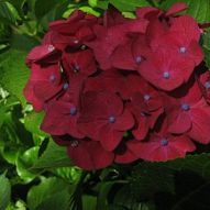 Did you know you can change the color of your hydrangea flowers. It i… :: Hometalk