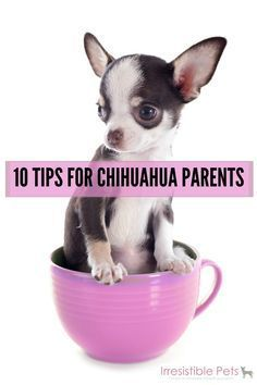 10 tips for chihuahua parents..wow I didn't know thy needed a coat. I'm glad I got my fur babies coats. Best breed I have ever had.