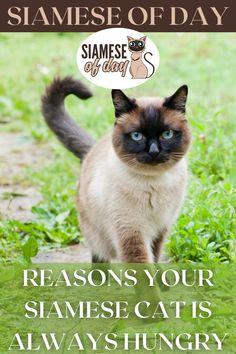 Is your cat always hungry? Roundworms can cause a cat to be constantly hungry because the worms consume all of the nutrition in his food before he can consume it. A roundworm-infested cat may look fat, as the parasites cause his body to swell. #siamese #siameseofday #cats #pets #kittens #Blog #cattips #cathealth #kitten #justcats Siamese Cats, Kittens, Constantly Hungry, Kitten Care, Always Hungry, Cat Health, Worms, Fat, Nutrition