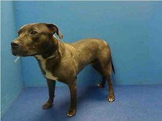 Bruce can be adopted via the NYC ACC website or fostered/adopted through a New Hope Partner. Please save Bruce's life tonight..he's just a baby and a good baby at that!  https://www.facebook.com/photo.php?fbid=610876868925196=a.611290788883804.1073741851.152876678058553=3