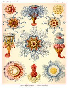 Vintage Ernst Haeckel  Jellyfish Scientific Illustration Sea Art Print by AdamsAleArtPrints on Etsy https://www.etsy.com/listing/103594206/vintage-ernst-haeckel-jellyfish