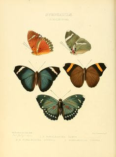v.3 (1862-1866) - Illustrations of new species of exotic butterflies : - Biodiversity Heritage Library