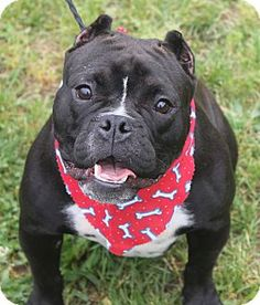 5/24/17 Clayton, NJ - English Bulldog/Pit Bull Terrier Mix. Meet HIPPO, a dog for adoption. http://www.adoptapet.com/pet/18195525-clayton-new-jersey-english-bulldog-mix