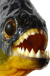 Piranhas have triangle-shaped teeth that are razor-sharp. The fish are known as cruel killers. Sometimes they swim in large schools. They may attack a large fish or other animal in the water. The piranhas use their sharp teeth to chop their victim into tiny bits.