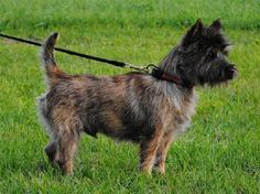 JUSTIN is a neutered male Cairn Terrier, small in size and 1.9 years old.  He's crate- and house-trained and good with kids and dogs.  Justin's moderately active and loves to play in water.  This little boy is full of love and will go quickly, making someone's home complete.  Will it be yours?  Spread the word!    For more information about Justin or to make an application for his adoption, please visit:  http://www.lastdaydogrescue.org/animals/detail?AnimalID=4876891