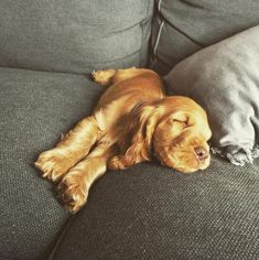 To be featured. Cocker Spaniel Anglais, Golden Cocker Spaniel, Cute Puppies, Cute Dogs, Dogs And Puppies, Baby Animals, Cute Animals, Tallest Dog, English Cocker