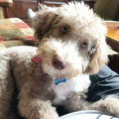 Goldendoodle, Lamb, Dogs, Animals, Animales, Animaux, Pet Dogs, Doggies, Animal