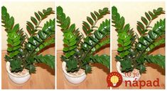 Zamiokulkas celým menom Zamiokulkas Zamiifolia je aj v našich zemepisných šírkach čoraz obľúbenejšou rastlinou. Niet sa čomu čudovať, každý kto ju niekedy mal doma vie, že starostlivosť o ňu je skutočne jednoduchá. Nepotrebuje veľa vlahy a často sa označuje aj termínom rastlina lenivých gazdiniek. Zamiokulkas pochádza z ďalekého Madagaskaru, no veľmi rýchlo sa rozšíril do... Cactus Plants, Diy And Crafts, Flowers, Gardening, Desserts, Gardens, Green Garden, Composters, Garten