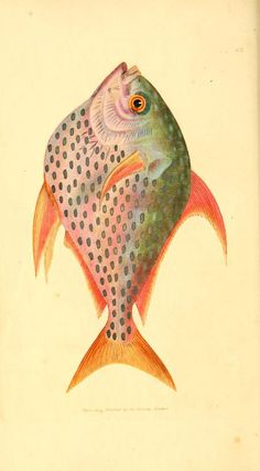 v. 1-2 (1806) - The British miscellany, or, Coloured figures of new, rare, or little known animal subjects : - Biodiversity Heritage Library...
