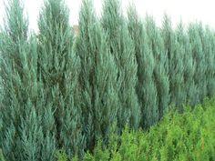 juniper 'Blue Arrow'---12'-15' Tall ---evergreen so green/blue all winter? hedge alternative?