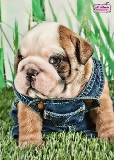 #english #bulldog #englishbulldog #bulldogs #breed #dogs #pets #animals #dog #canine #pooch #bully #doggy #cute #sweet #puppy #puppies #bullies