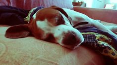 #Boxer #beagle #Dogs #animals #cute