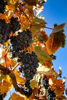 Grapes in the Fall Vineyard | Sierra Springs Photography, via Flickr