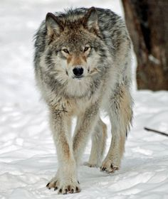 Timber Wolf Photo by shelley Jacques — National Geographic Your Shot