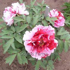 Tree Peony Shima Nashiki from Solaris Farms Tree Peony, Farms, Trees, Gardening, Flowers, Plants, Inspiration, Image, Peony