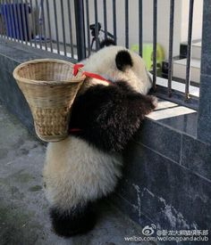 I am the Easter Panda. I am the Easter Panda. Pretty Animals, Cute Funny Animals, Cute Baby Animals, Animals Beautiful, Wild Animals, Panda Love, Cute Panda, Cãezinhos Bulldog, Panda Mignon