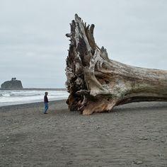 La Push Washington, Beached Tree