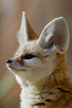 https://flic.kr/p/bCGMQA | Fennec fox portrait (Vulpes Zerda)