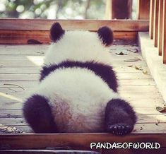 30 Funny Panda Pictures That Make Us Hassle - meowlogy Pretty Animals, Cute Baby Animals, Animals Beautiful, Animals And Pets, Funny Animals, Cute Panda Baby, Funny Panda Pictures, Animal Pictures, Cute Pictures