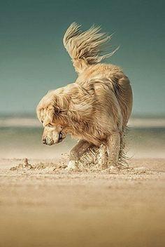 Golden Retriever. ~ Cute puppy and dog