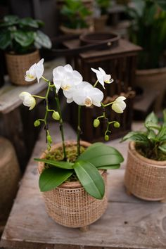 A gem, this white Phalaenopsis orchid looks right at home in a wicker bamboo-inspired pot and covered in moss. Natural, and zen, we think this planter will fit into any room and bring a sense of calm along with it. Orchids at West Coast Gardens in Surrey BC www.westcoastgardens.ca #orchids Orchid Planters, Indoor Planters, Orchid Centerpieces, Centrepieces, Phalaenopsis Orchid, Orchids, Jewel Orchid, Chinese New Year Gifts, Lucky Plant