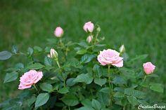 A Mini Rosas pertencem à família Rosaceae, perene e muito ornamental. Folhas simples, em cores que vão do verde-médio ao verde-escuro, serreadas nas ........