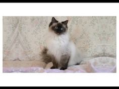 Cat Themed Gift Ideas Featuring A Seal Pointed Ragdoll Cat.  #Catgiftsideas #ragdollcats