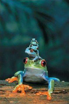 Red-Eyed Tree Frog, Mother and Babies ~ 4 baby tree frogs sit on their mother's head