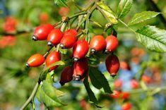 Dzika róża jest gatunkiem rośliny występującym w krajach o klimacie umiarkowanym i ciepłym. W Polsce jest rośliną bardzo pospolitą. Jednak leczniczych właściwości dzikiej róży nie można nazwać pospolitymi. Zawarta w niej duża dawka witaminy C