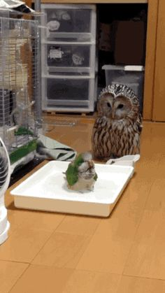 "Little bird: ""Bath time!"" Owl: ""The heck is this?"""
