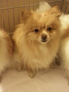 A friend of mine has a 5 yr. old Pomeranian who needs a home.  Shy, boy, cute, and needs to be in an adult home or one with older kids.  Not used to one on one attention. Info from: Carol Kawamoto's blog