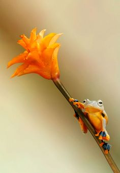 grenouille-animal-photo-macro18