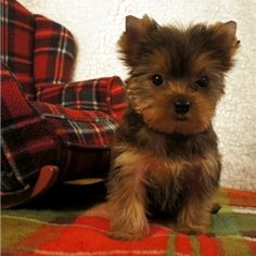 Toy yorkie, so cute!