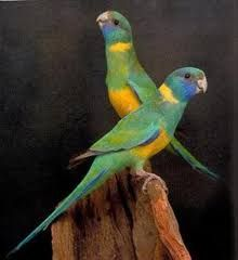 Image result for cloncurry parrot