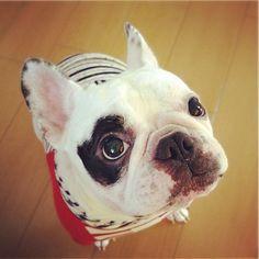 遊んでほしいの…  目が、訴えてる。    #frenchbulldog #フレンチブルドッグ - @kota_franc- #webstagram