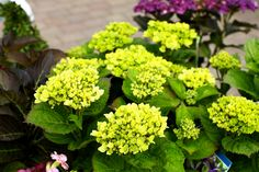 Hydrangea Amethyst - Magical seasonal colour change. Flowers May to November. It does not need pruning but can be pruned immediately after growing season. The flowers will also last a long time in a vase. Can grow to 100cm. Strong plant, able to cope well with rain, sun and frost. Ideal for pots and borders. www.thepavilion.ie Colorful Garden, Season Colors, Summer Flowers, Hydrangea, Color Change, Frost, Amethyst, November, Rain