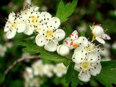 Endangered Plants, Apricot Blossom, Plant Breeding, Green Magic, Small Trees, Hedges, Shrubs, White Flowers, Natural Remedies