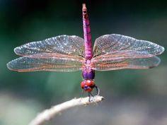 Como atrair libélulas e joaninhas