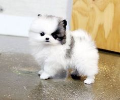 Teacup Pomeranian puppy love obsession Teacup Pomeranian puppy love obsession Source by The post Teacup Pomeranian puppy love obsession Teacup Pomeranian & appeared first on Daisy Dogs. Puppies And Kitties, Teacup Puppies, Cute Puppies, Cute Dogs, Doggies, Cute Funny Animals, Cute Baby Animals, Animals And Pets, Cute Pomeranian