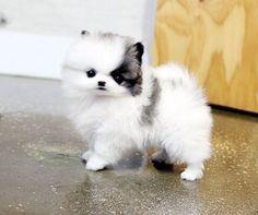 Chocolate & White Teacup Pomeranian