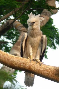 Harpy Eagle (Harpia harpyja) found in tropical rainforests of Central and South America